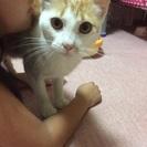 里親さん急募!人懐こい茶白の猫