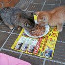 保護してる子猫2匹とお母さん猫の里親募集
