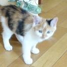 可愛い三毛猫の女の子です♪