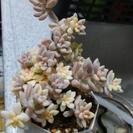 ミリナエ錦 葉挿し用、3枚、発芽、発根なし。