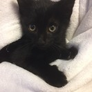 2カ月半 性格も仕草もかわいい♂黒猫ボンくん