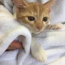 2カ月半 甘えん坊の子猫♂茶白ニャン