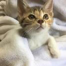 2ヶ月半 甘えん坊の子猫♂黒いお鼻の茶白ニャン