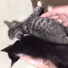 生後約1か月の子猫(どちらもメス)