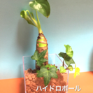 ハイドロカルチャー、ミニ観葉植物、クワズイモ