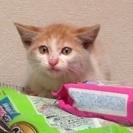 元気なふわふわ茶白子猫