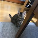 イケメンキジトラのオス2ヶ月ぐらいの子猫
