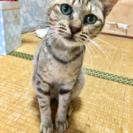 キジトラ♂6か月 人慣れした可愛い子猫です