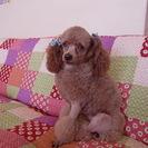 レッド色のプードル男の子成犬3㌔