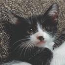 子猫の里親募集です。7/3で生後2ヶ月になります。