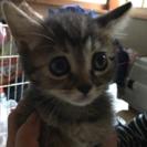 生後2〜3ヶ月のキジトラの女の子、可愛いです(その4)