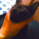 不思議なチョコレート色の4ヶ月の子猫