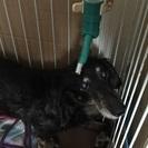 ブラックタン女の子高齢犬。再投稿。