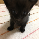 ミケ猫ちゃん 1歳半メス  生後2ヵ月 子猫 里親さん募集