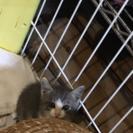 里親さん決まりました✿︎グレー色子猫ちゃん