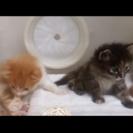 6月9日生まれの子猫。茶白のオス、サビのメス。授乳中です。