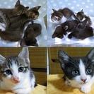 生後1ヶ月過ぎの子猫、里親さん募集しております。