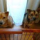 中型犬雑種きょうだいを可愛がってくださる方を探しています