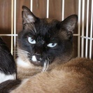 美しい青い目のシャム猫風男子