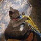 ロシアンブルーの子猫 募集停止しました