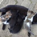 6月中ごろ生まれ ミケ、キジ白、白黒、黒2匹の 仔猫5匹 里親募集