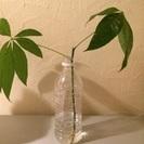 斑入りパキラのカット苗、根ありミルキーウェイ