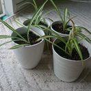 オリヅルラン 観葉植物 苗