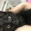 黒猫の子猫の里親になってください