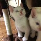 生後1ヶ月の子猫の里親さん募集