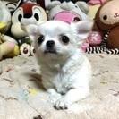 チワワとフレンチブルドックの子犬を販売しています。
