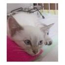 可愛いシャム猫風女の子