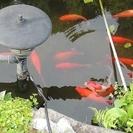 金魚を差し上げます。体長20~25cm、16匹くらいいます。取りに...