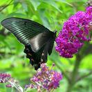 チョウが毎日くるブッドレアの苗木