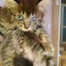 長毛キジトラ2ヶ月♂
