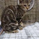 7月23日(日)三鷹で子猫の譲渡会にだします。アメショーミックス❤...