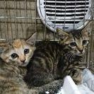 7月23日(日)子猫の譲渡会にだします。キジトラ男の子🌟女の子🌟生...