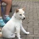 7ヶ月白柴犬