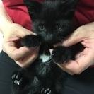 生後2ヶ月とっても可愛い黒猫です!