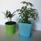 セール!観葉植物、カポックとマキのセット