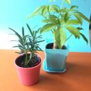 ミニ観葉植物、カポックとマキ