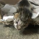 生後数日(と思われる)仔猫3匹