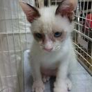 【青い目の子猫】里親様を募集しています。
