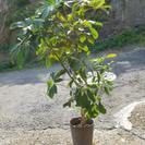 観葉植物 カボック