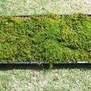 ◆天然 シノブゴケ しのぶ苔 ケース入(60cm×30cm)×1枚組