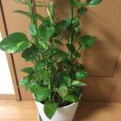 インテリア★観葉植物★8号 ポトス
