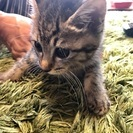 子猫のしろちゃん♀(3ヶ月)