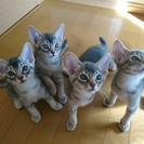 5/10生まれ(生後2ヶ月)アビシニアン&アメショMIXの仔猫(4匹)