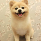 ポメラニアンのモデル犬募集