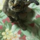 キジ猫3ヶ月♀