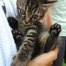雑種の子猫、推定2ヶ月です。